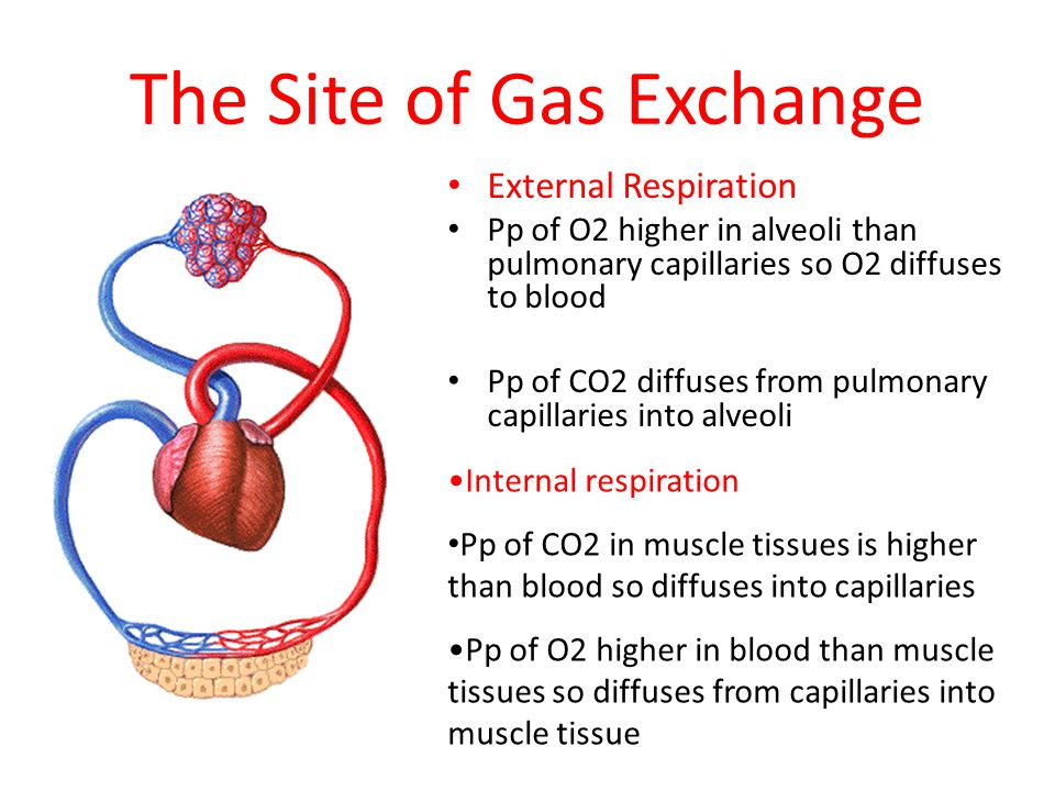 what is the site of gas exchange