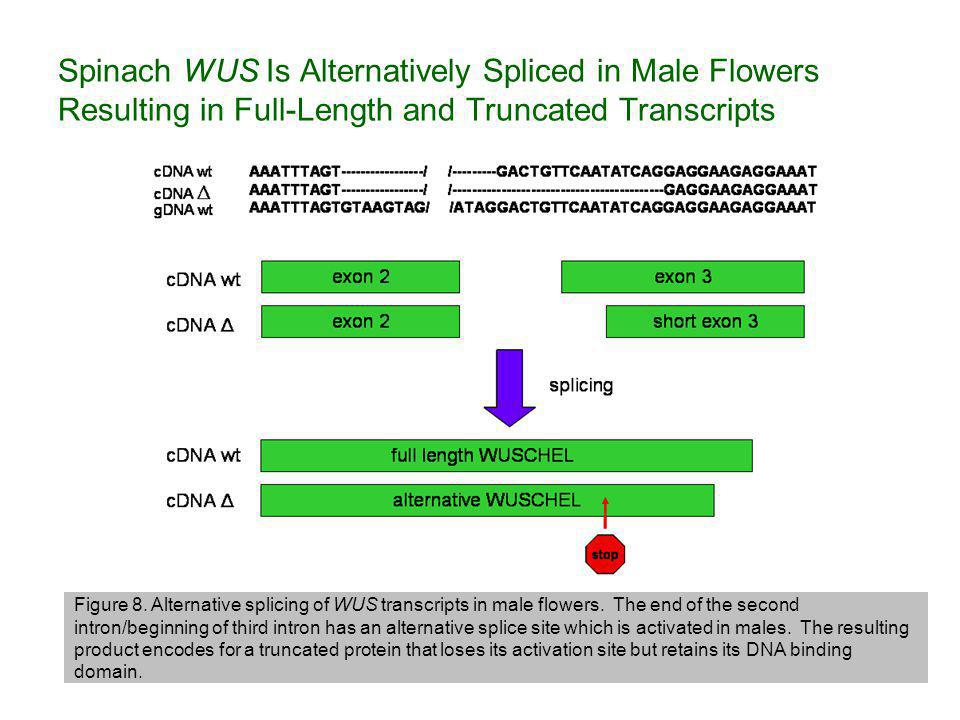 Spinach WUS Is Alternatively Spliced in Male Flowers Resulting in Full-Length and Truncated Transcripts Figure 8.