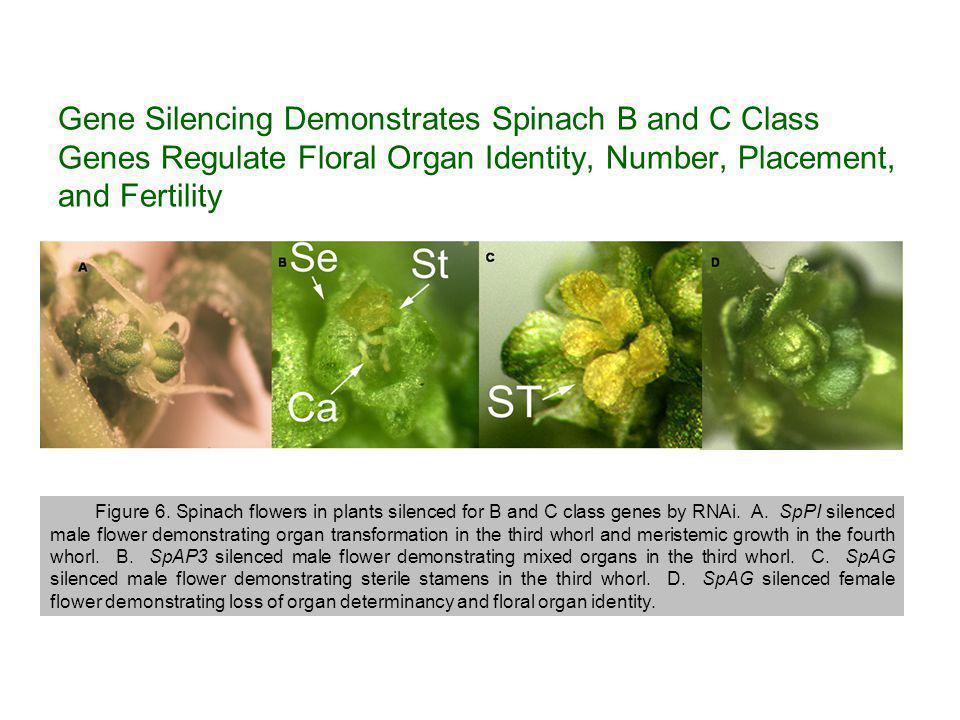 Gene Silencing Demonstrates Spinach B and C Class Genes Regulate Floral Organ Identity, Number, Placement, and Fertility Figure 6.