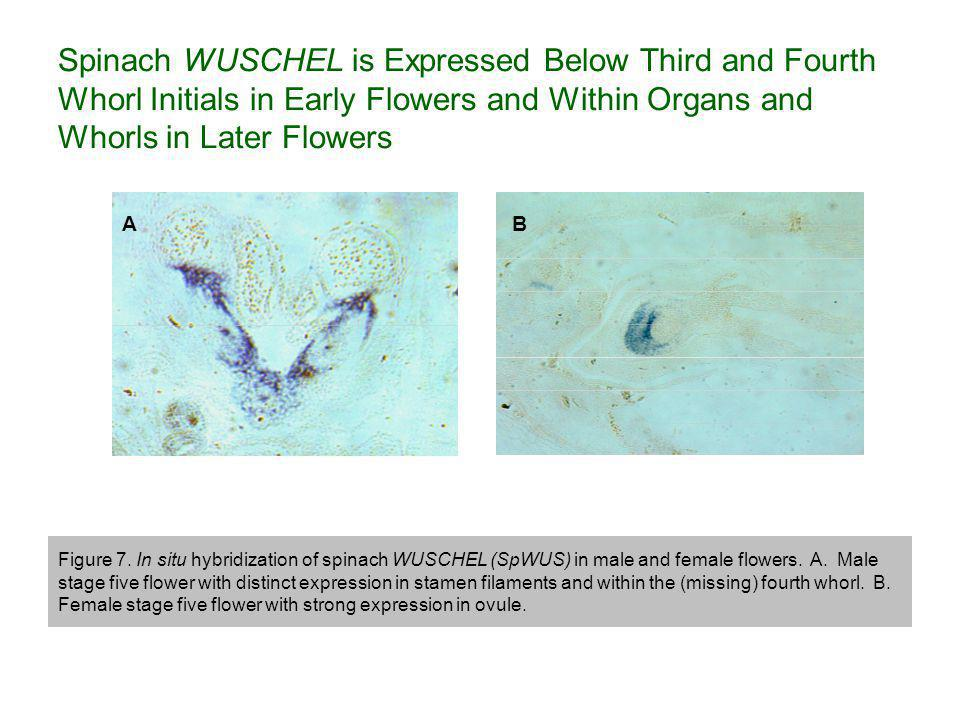 Spinach WUSCHEL is Expressed Below Third and Fourth Whorl Initials in Early Flowers and Within Organs and Whorls in Later Flowers AB Figure 7.