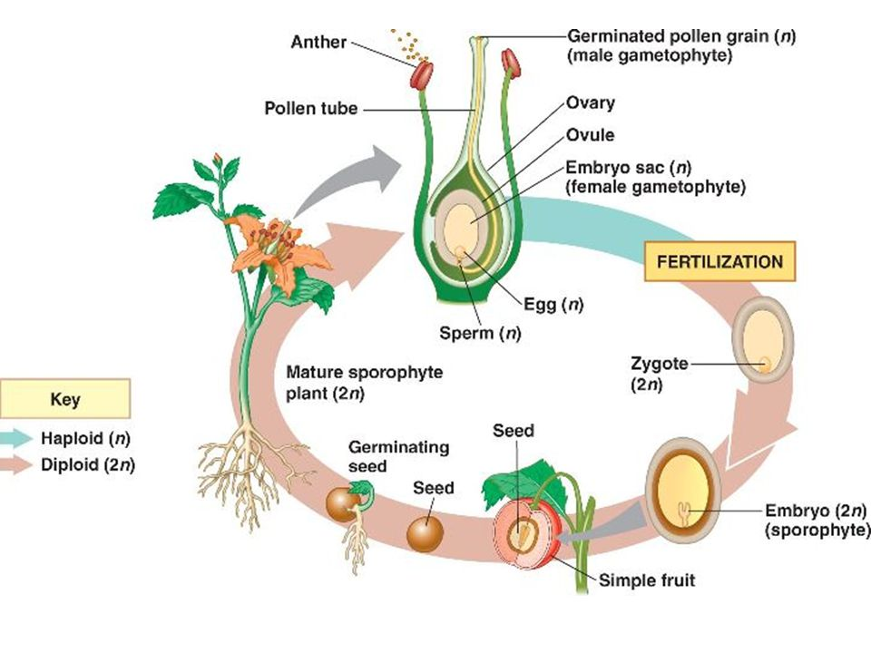 What is the organ of sexual reproduction in angiosperms