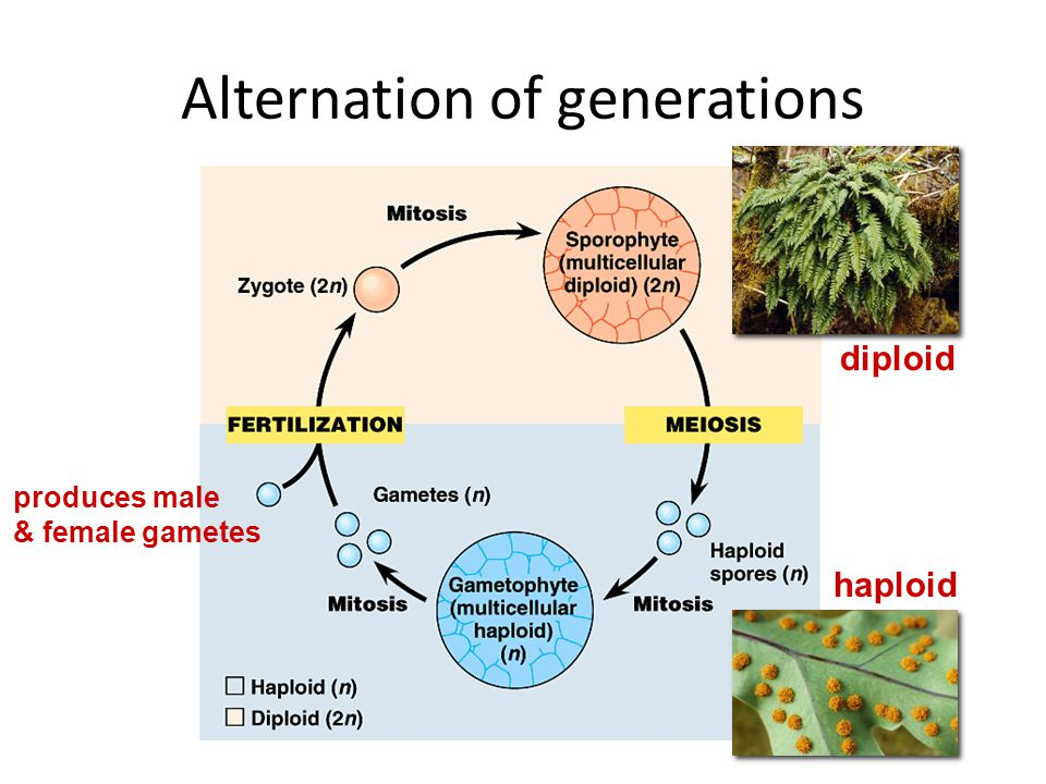 Alternation of generations Fern gametophyte (1n) – __________________: male & female gamete production on same plant ________