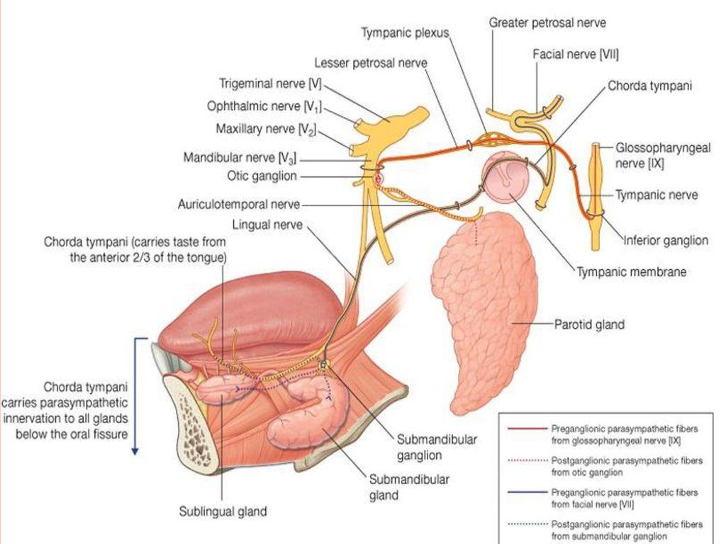 Trigeminal Nerve Anatomy Ppt Image collections - human body anatomy