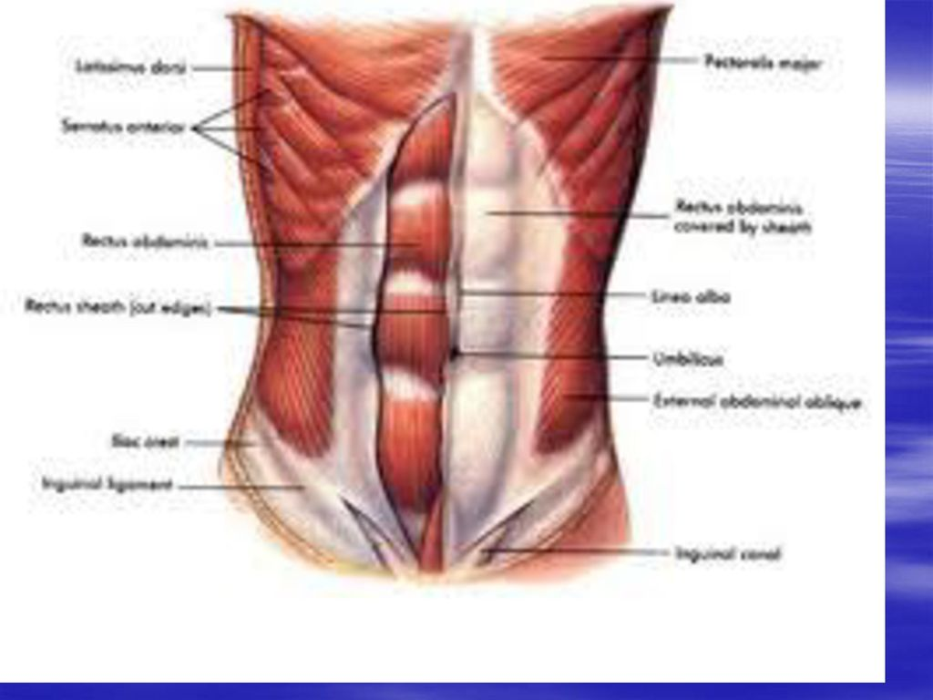 Anatomy of anterior abdominal wall - ppt download