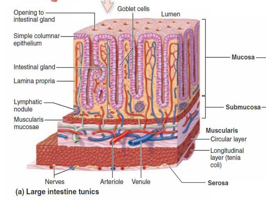 Large Intestine The large intestine,starts from the iliocaecal valve ...