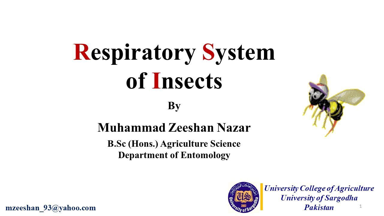 Respiratory system of insects ppt download 1 respiratory system of insects by muhammad zeeshan nazar b hons agriculture science department of entomology university college of agriculture ccuart Images