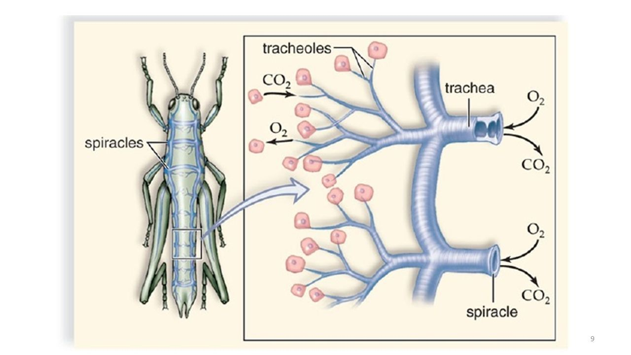 Respiratory system of insects ppt download 10 air sacs in many pterous insects the tracheae are expanded in many parts of the body to make thin walled collapsible structure present called air sacs ccuart Images