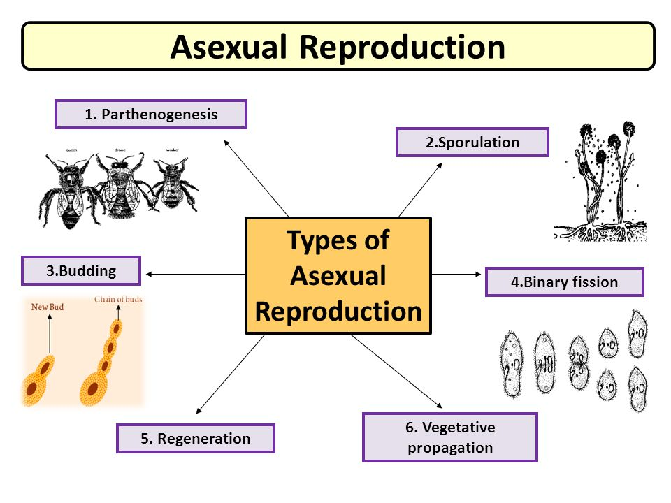 Sporulation asexual reproduction definition