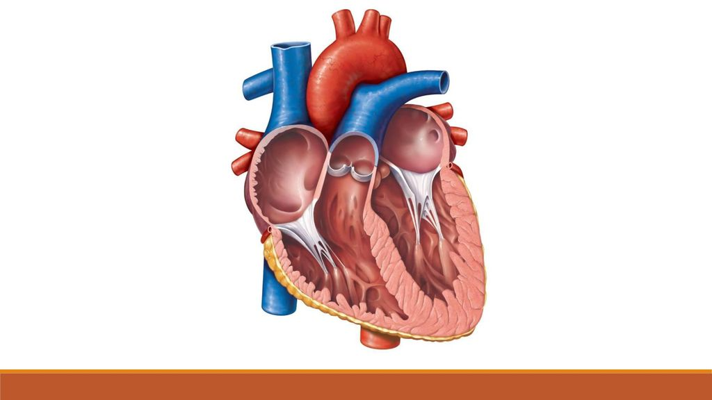 The Heart Date:. The Heart Date: Learning Objectives Identify ...