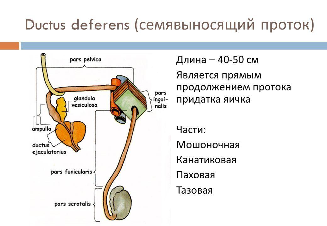 ampulla of ductus deferens - 1040×720