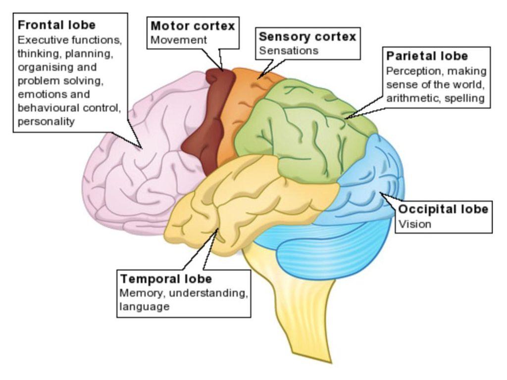 Teen Brain Diagram Labeled - DIY Enthusiasts Wiring Diagrams •