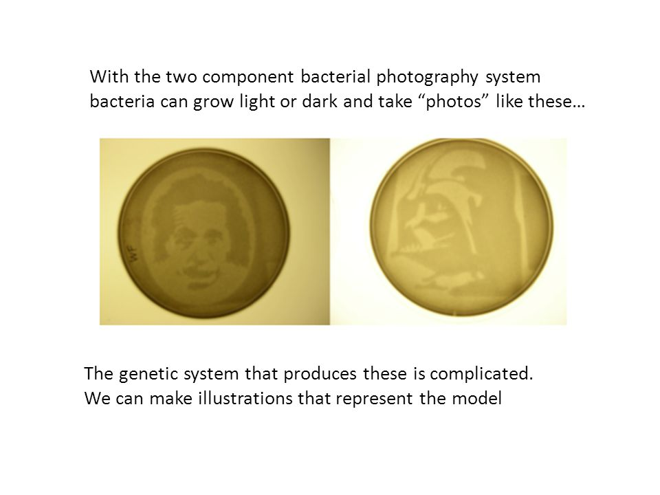 With the two component bacterial photography system bacteria can grow light or dark and take photos like these… The genetic system that produces these is complicated.