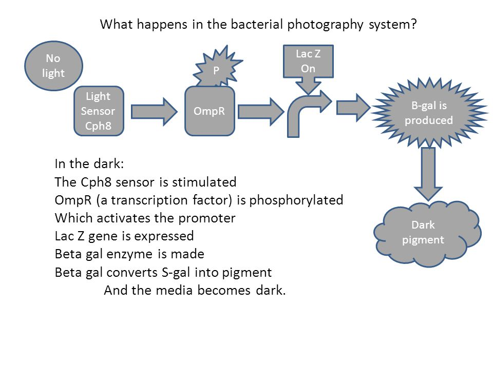 P OmpR Light Sensor Cph8 Lac Z On No light In the dark: The Cph8 sensor is stimulated OmpR (a transcription factor) is phosphorylated Which activates the promoter Lac Z gene is expressed Beta gal enzyme is made Beta gal converts S-gal into pigment And the media becomes dark.
