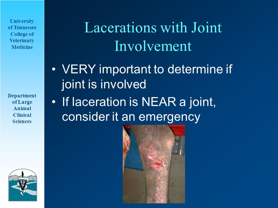 University of Tennessee College of Veterinary Medicine Department of Large Animal Clinical Sciences Lacerations with Joint Involvement VERY important to determine if joint is involved If laceration is NEAR a joint, consider it an emergency