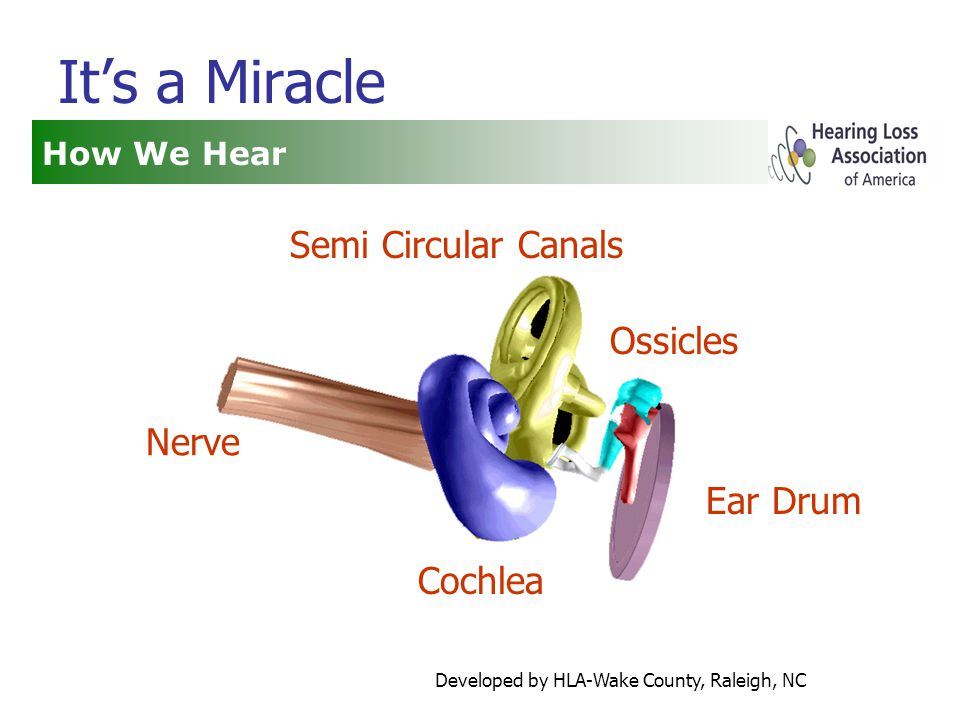 Developed by HLA-Wake County, Raleigh, NC It's a Miracle How We Hear Nerve Ossicles Ear Drum Semi Circular Canals Cochlea