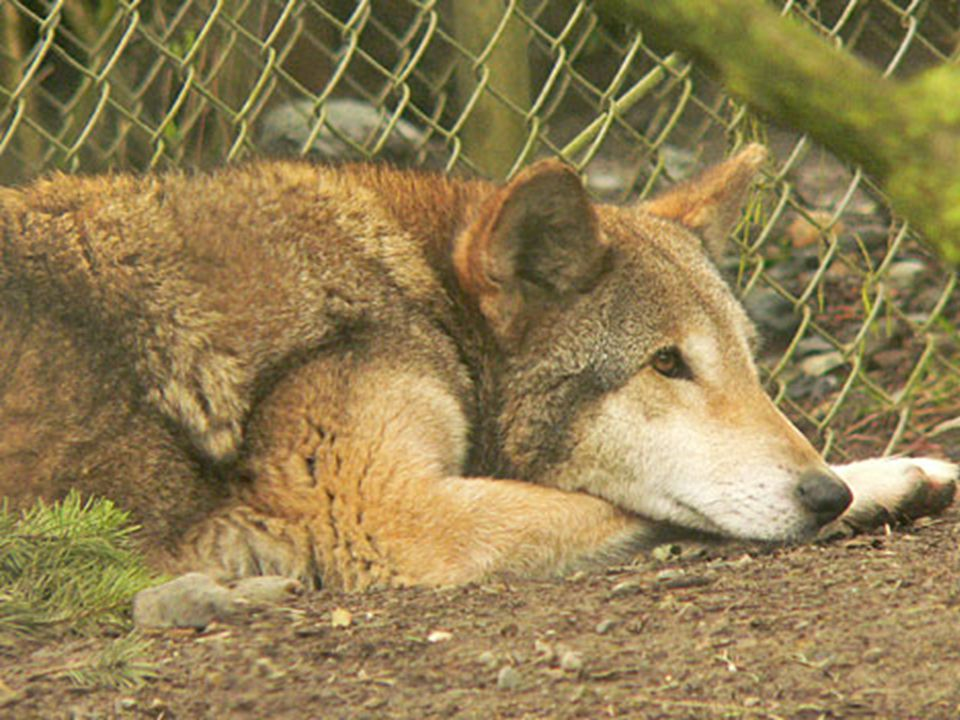 Red Wolf Mating season is in the late winter. Mating season is in the late winter.