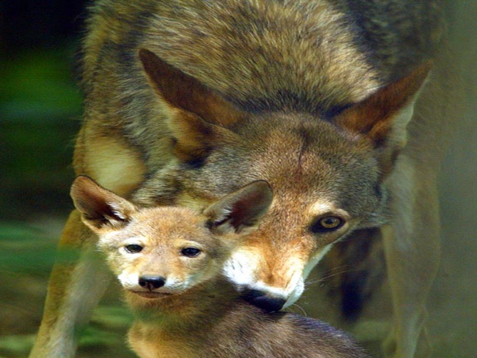 Red Wolf Shy and secretive red wolf's hunt alone or in small pack's.