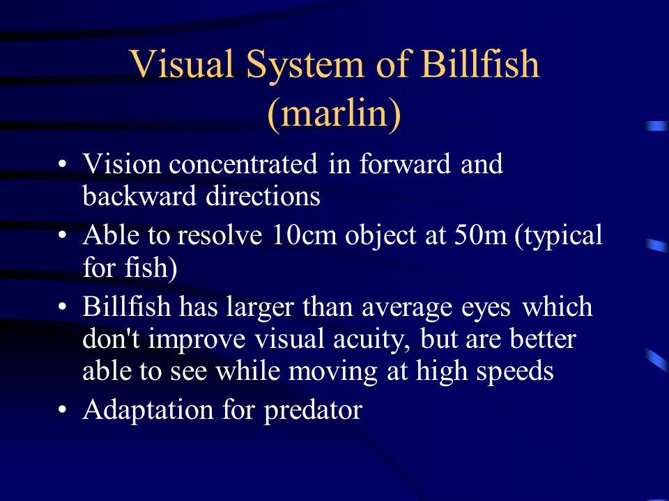 Visual System of Billfish (marlin) Vision concentrated in forward and backward directions Able to resolve 10cm object at 50m (typical for fish) Billfish has larger than average eyes which don t improve visual acuity, but are better able to see while moving at high speeds Adaptation for predator