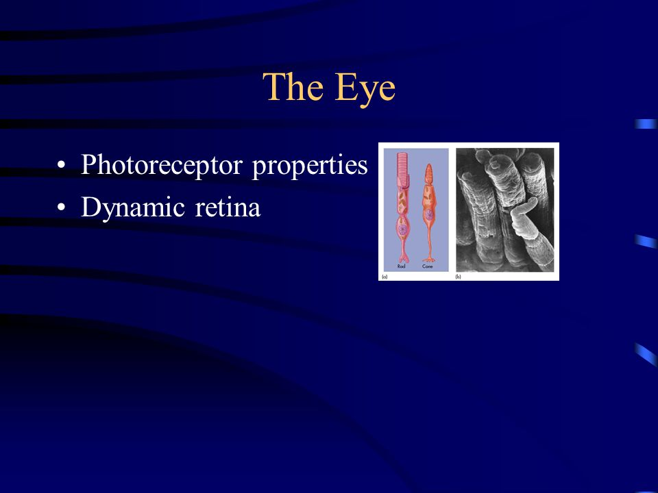The Eye Photoreceptor properties Dynamic retina