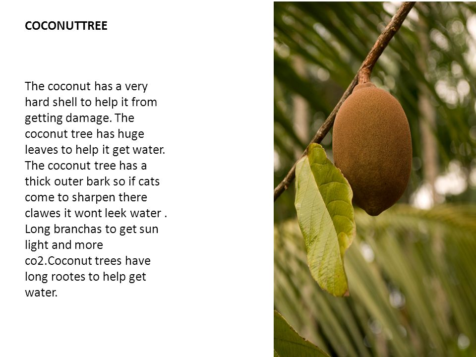 COCONUTTREE The coconut has a very hard shell to help it from getting damage.
