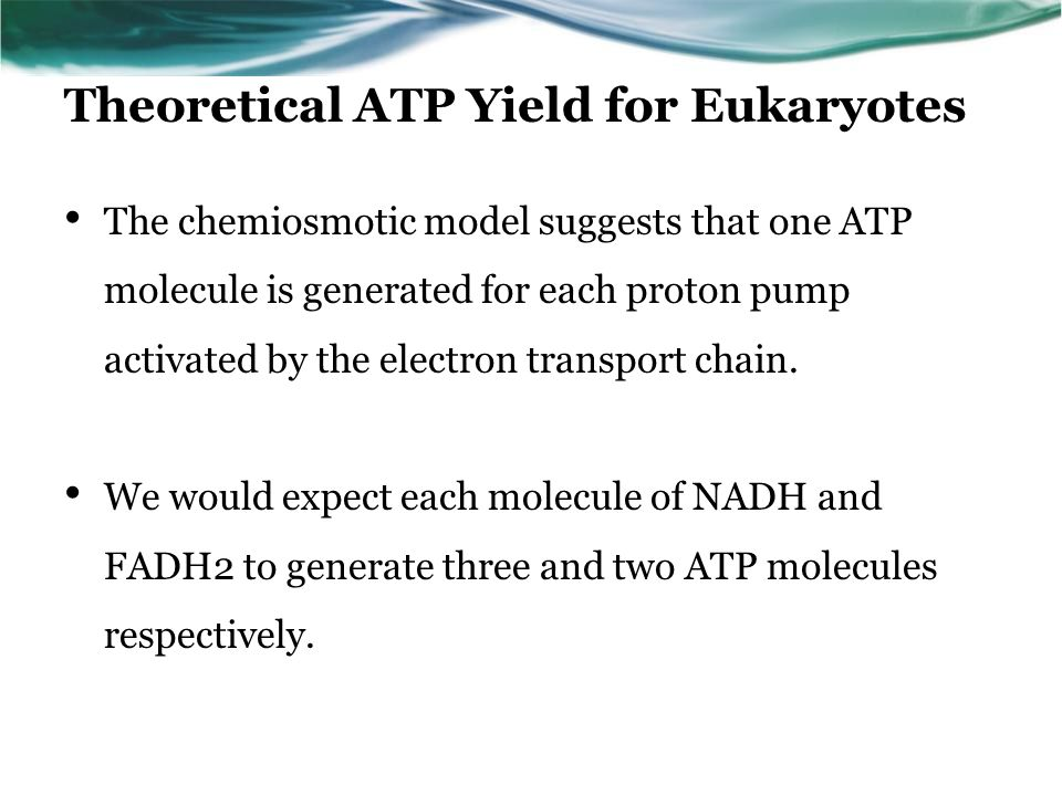 Theoretical ATP Yield for Eukaryotes The chemiosmotic model suggests that one ATP molecule is generated for each proton pump activated by the electron transport chain.