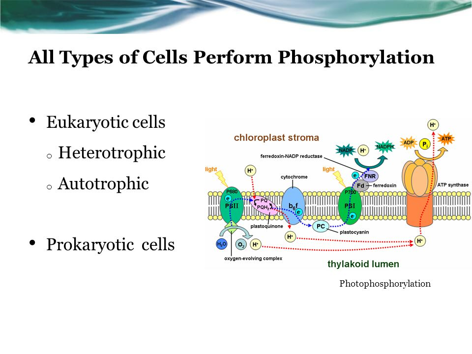 All Types of Cells Perform Phosphorylation Eukaryotic cells o Heterotrophic o Autotrophic Prokaryotic cells Photophosphorylation