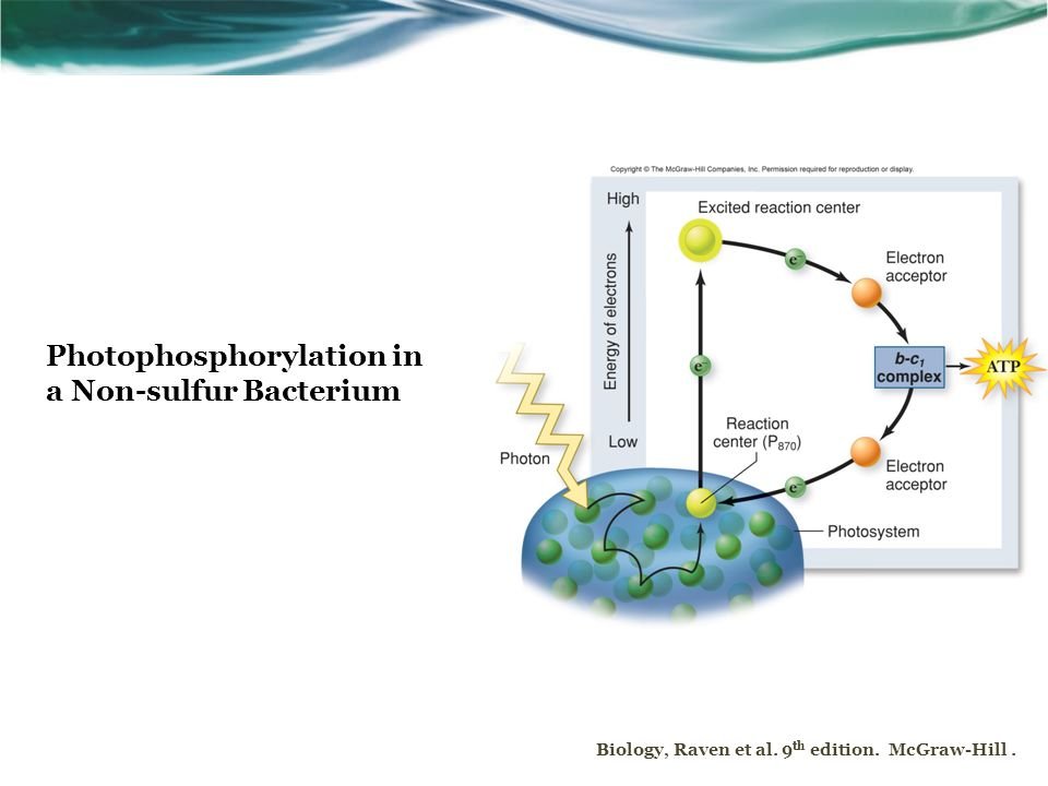 Biology, Raven et al. 9 th edition. McGraw-Hill. Photophosphorylation in a Non-sulfur Bacterium