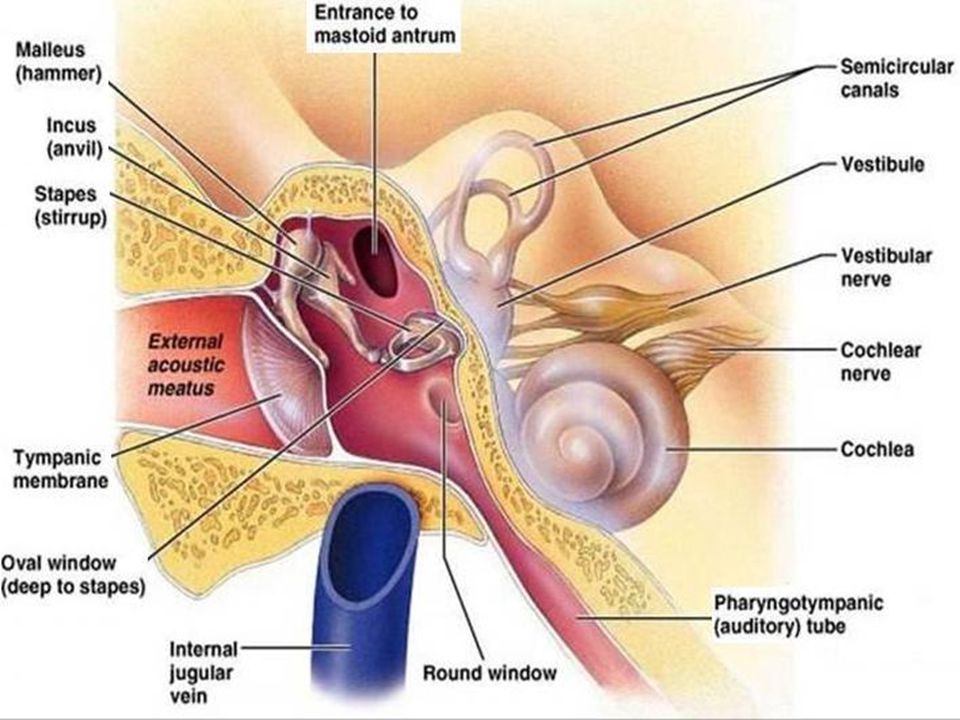 Anatomy Of Ear Mastoid Ppt Video Online Download