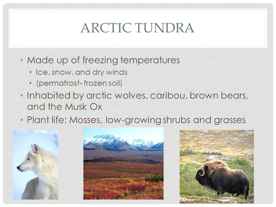 ARCTIC TUNDRA Made up of freezing temperatures Ice, snow, and dry winds (permafrost- frozen soil) Inhabited by arctic wolves, caribou, brown bears, and the Musk Ox Plant life: Mosses, low-growing shrubs and grasses