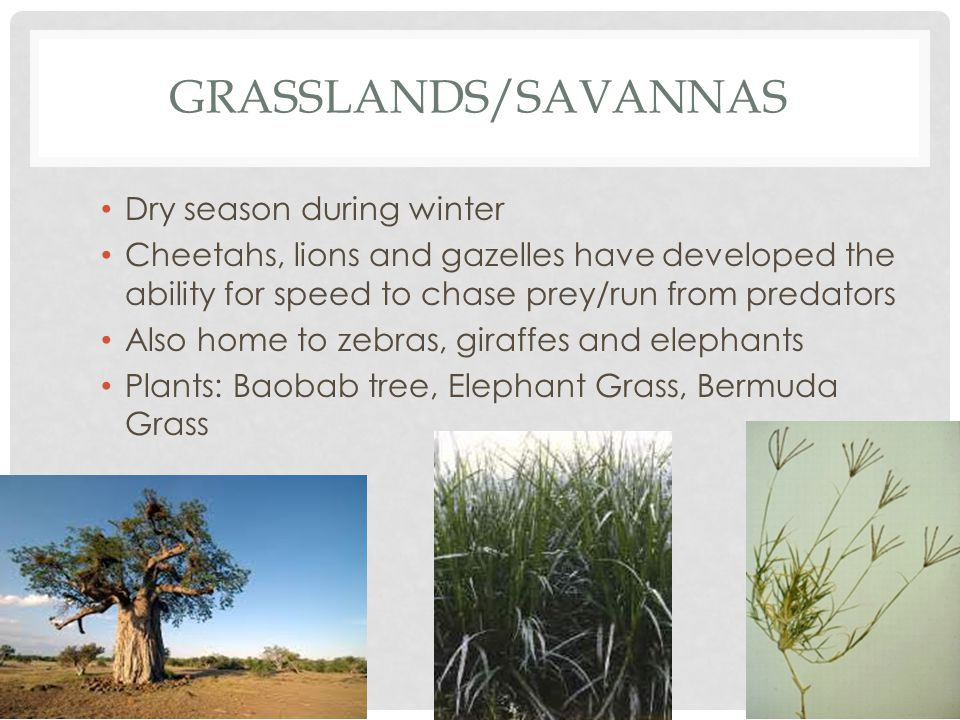 GRASSLANDS/SAVANNAS Dry season during winter Cheetahs, lions and gazelles have developed the ability for speed to chase prey/run from predators Also home to zebras, giraffes and elephants Plants: Baobab tree, Elephant Grass, Bermuda Grass