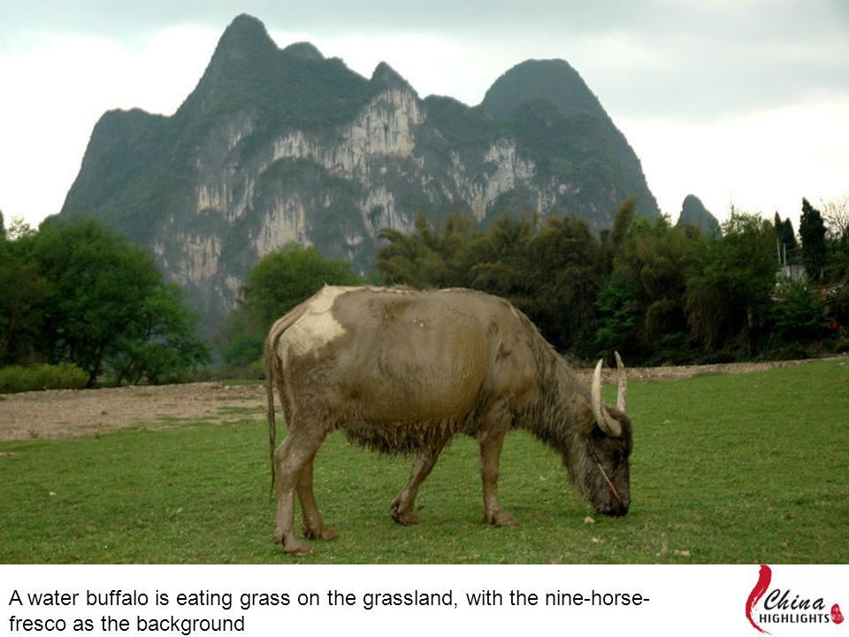 A water buffalo is eating grass on the grassland, with the nine-horse- fresco as the background
