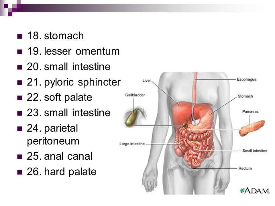 18.stomach 19.lesser omentum 20.small intestine 21.pyloric sphincter 22.soft palate 23.small intestine 24.parietal peritoneum 25.anal canal 26.hard palate