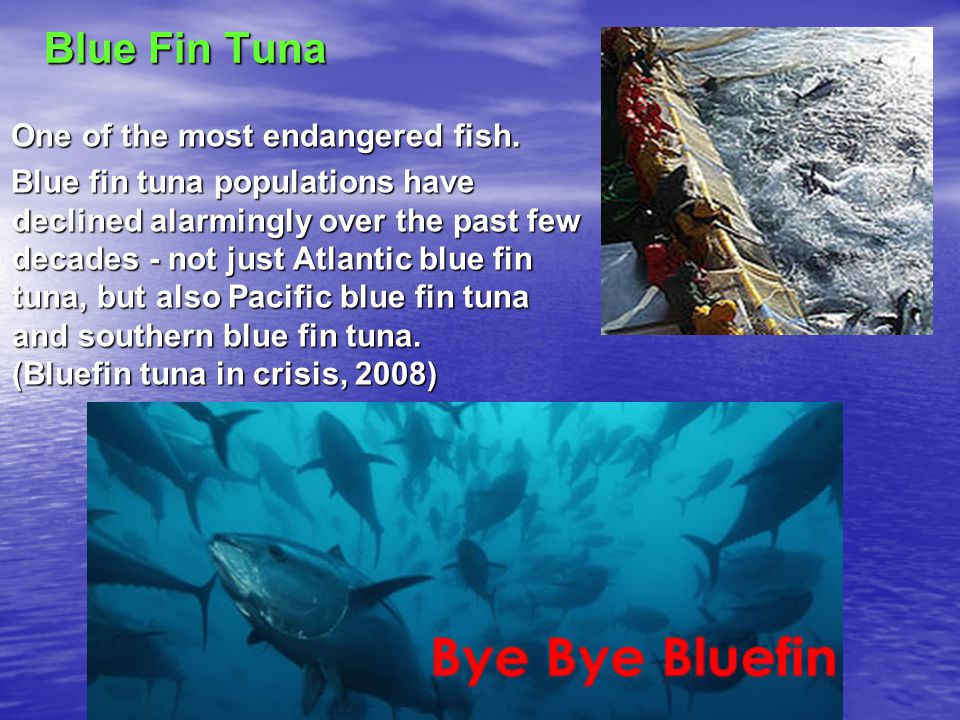 Blue Fin Tuna One of the most endangered fish. One of the most endangered fish.