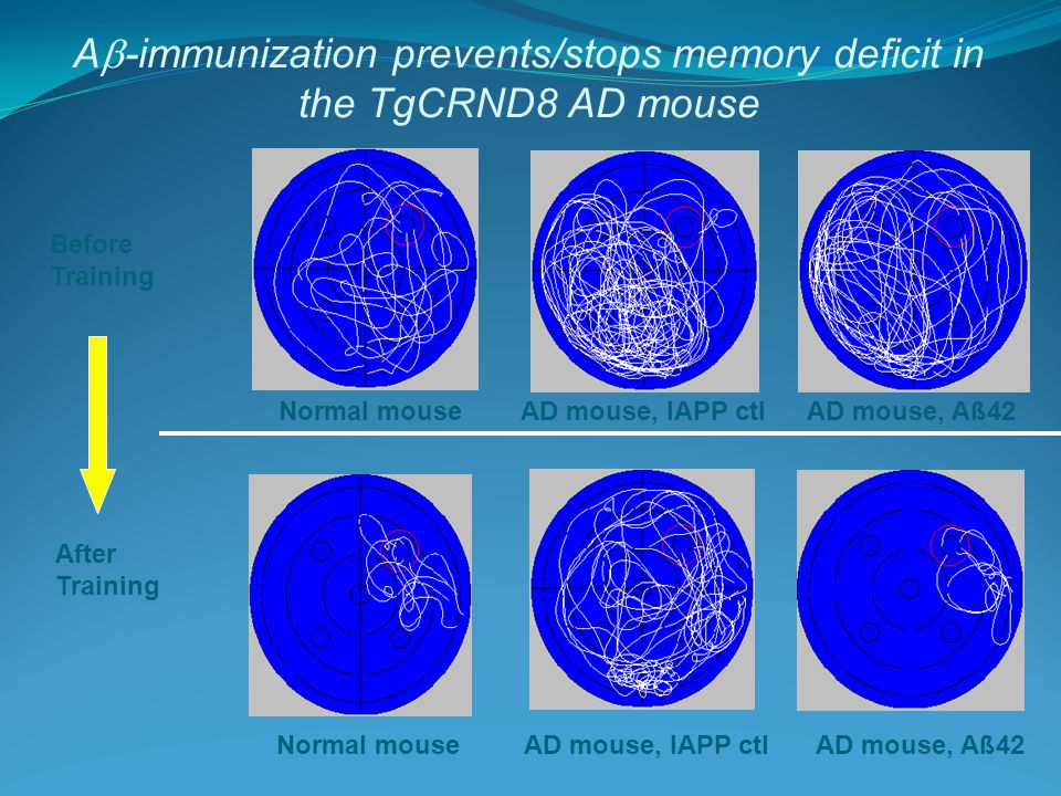 A  -immunization prevents/stops memory deficit in the TgCRND8 AD mouse Normal mouse AD mouse, Aß42AD mouse, IAPP ctl Normal mouse AD mouse, Aß42 AD mouse, IAPP ctl Before Training After Training