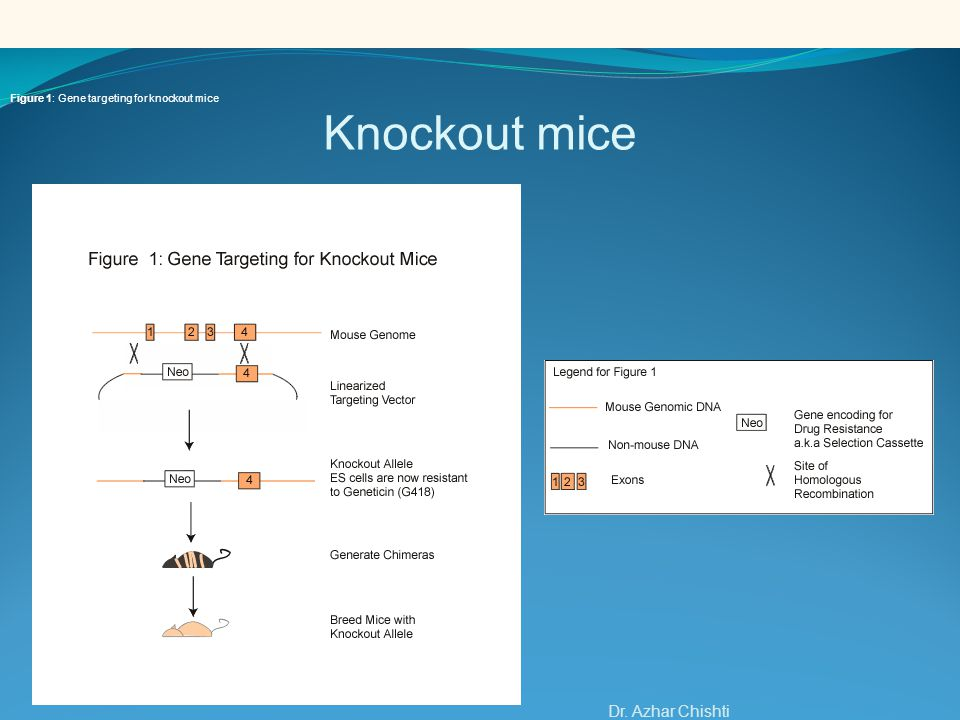 Knockout mice Dr. Azhar Chishti. Figure 1: Gene targeting for knockout mice