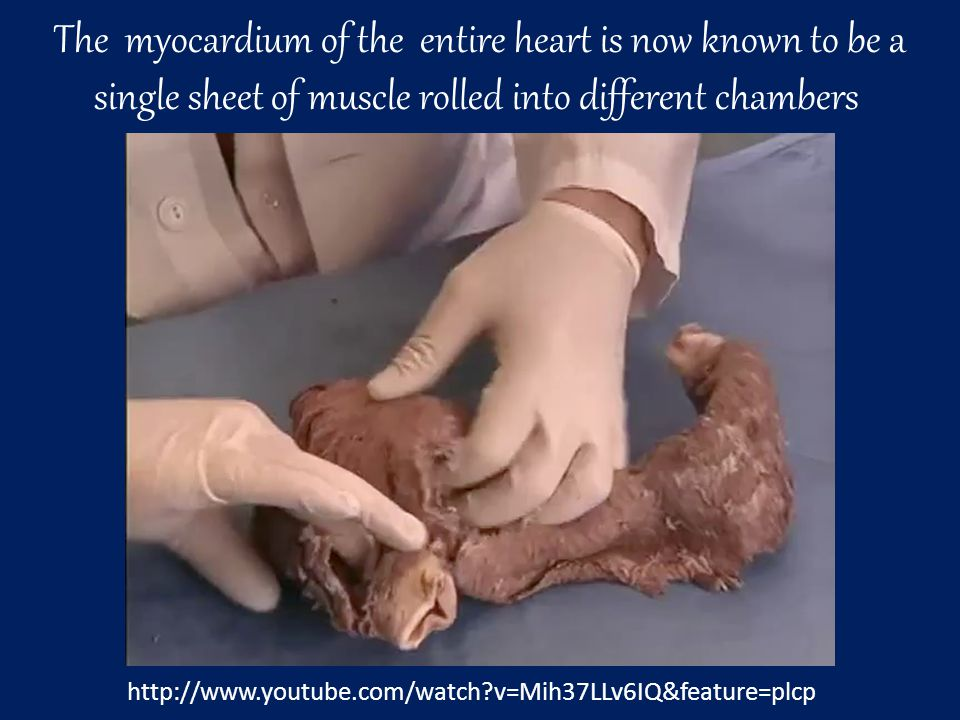 The myocardium of the entire heart is now known to be a single sheet of muscle rolled into different chambers http://www.youtube.com/watch v=Mih37LLv6IQ&feature=plcp