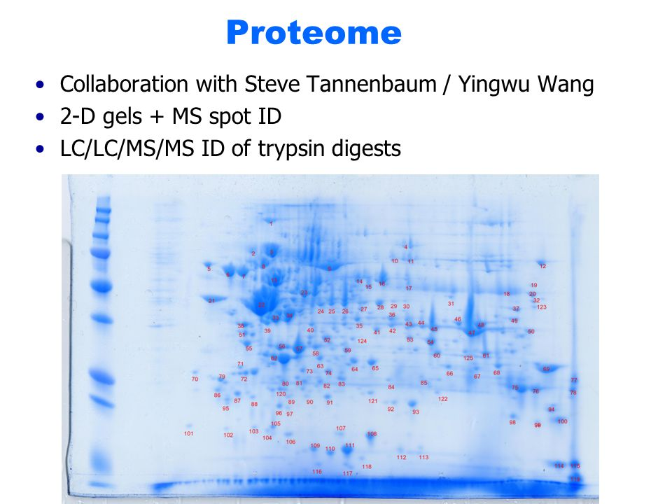 Proteome Collaboration with Steve Tannenbaum / Yingwu Wang 2-D gels + MS spot ID LC/LC/MS/MS ID of trypsin digests