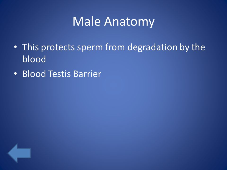 Male Anatomy This protects sperm from degradation by the blood Blood Testis Barrier