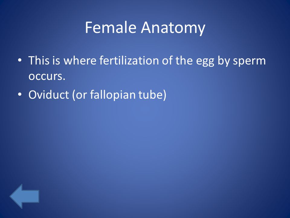 Female Anatomy This is where fertilization of the egg by sperm occurs. Oviduct (or fallopian tube)