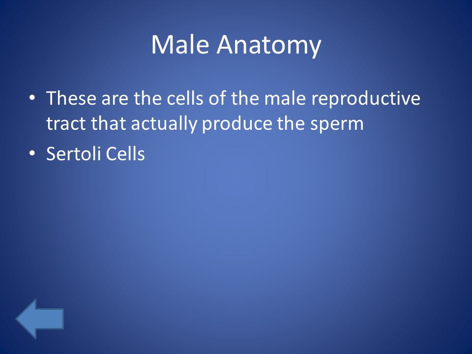 Male Anatomy These are the cells of the male reproductive tract that actually produce the sperm Sertoli Cells