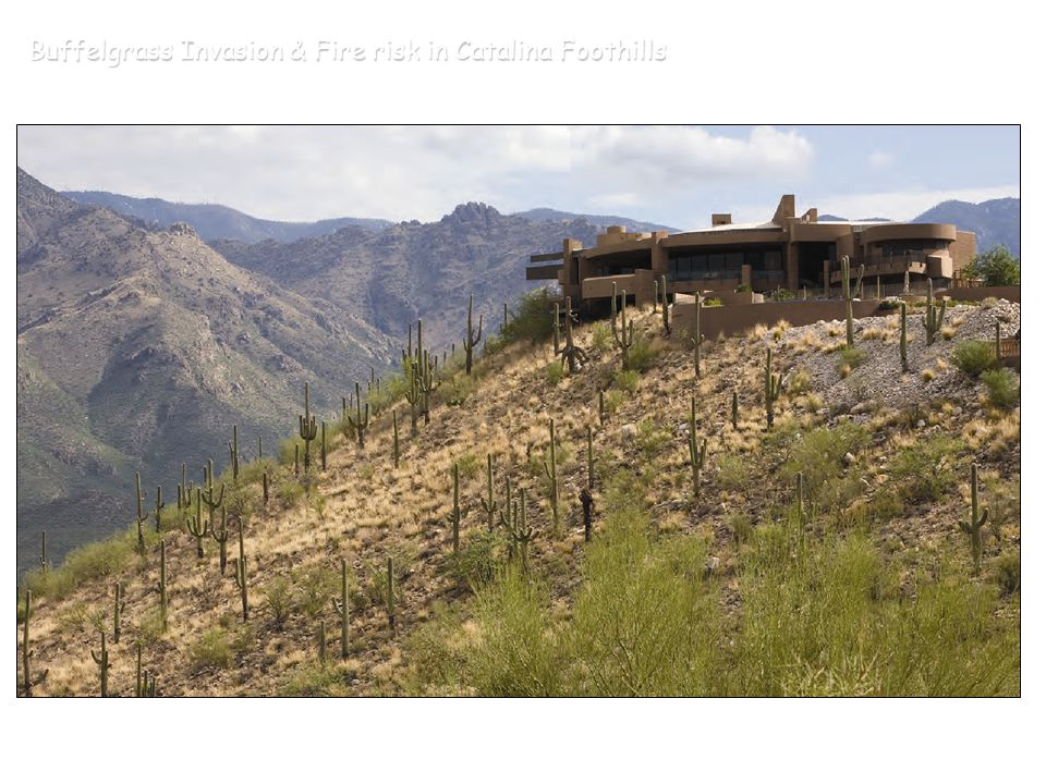 Buffelgrass Invasion & Fire risk in Catalina Foothills