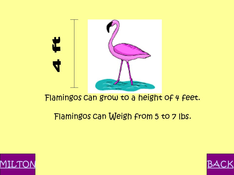Flamingos can grow to a height of 4 feet. Flamingos can Weigh from 5 to 7 lbs. BACKMILTON
