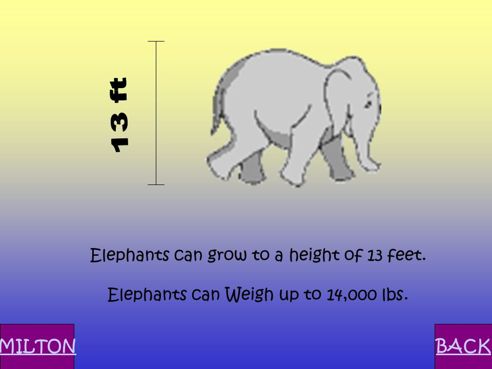 Elephants can grow to a height of 13 feet. Elephants can Weigh up to 14,000 lbs. MILTONBACK