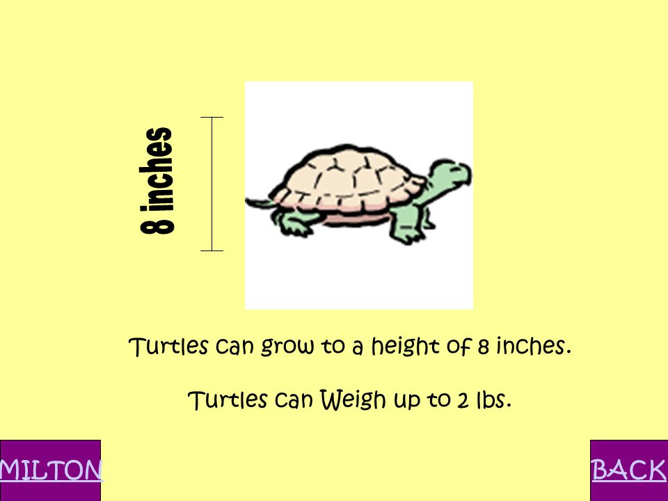 Turtles can grow to a height of 8 inches. Turtles can Weigh up to 2 lbs. MILTONBACK
