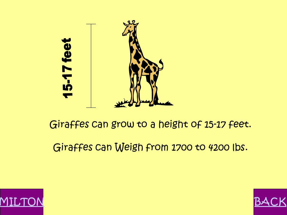 Giraffes can grow to a height of 15-17 feet. Giraffes can Weigh from 1700 to 4200 lbs. MILTONBACK