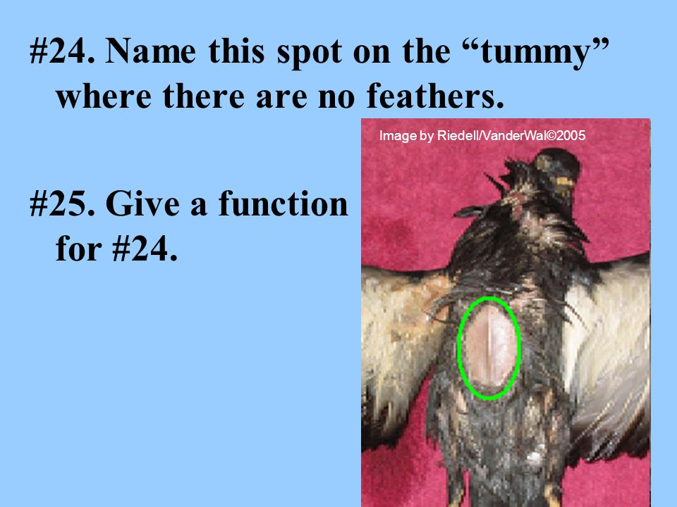 #24. Name this spot on the tummy where there are no feathers.