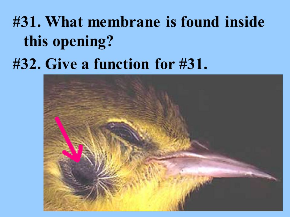 #31. What membrane is found inside this opening #32. Give a function for #31.