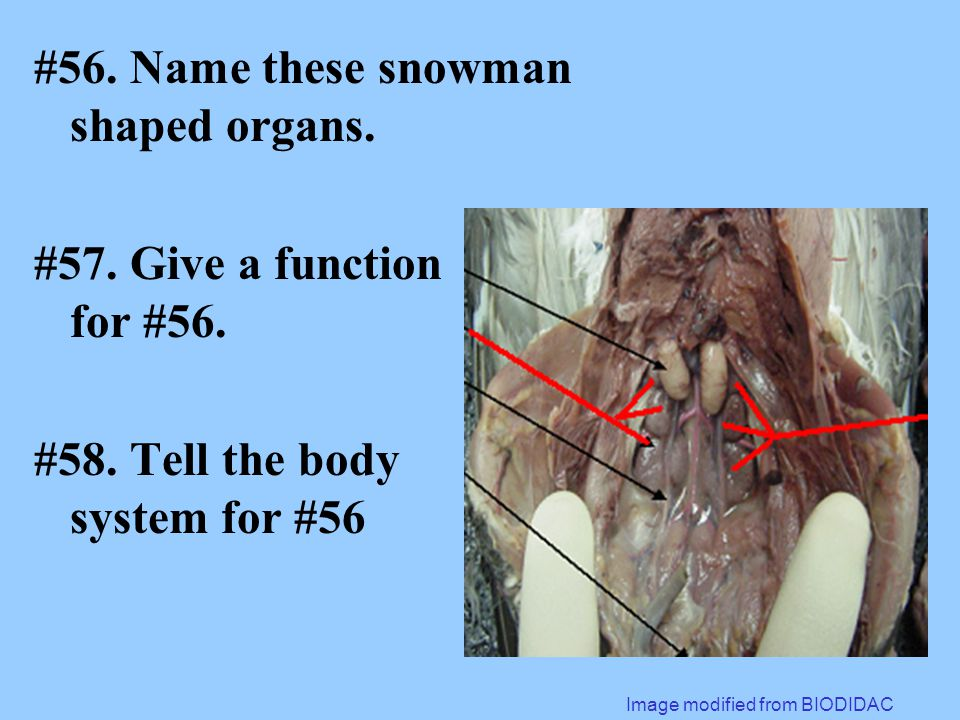#56. Name these snowman shaped organs. #57. Give a function for #56.
