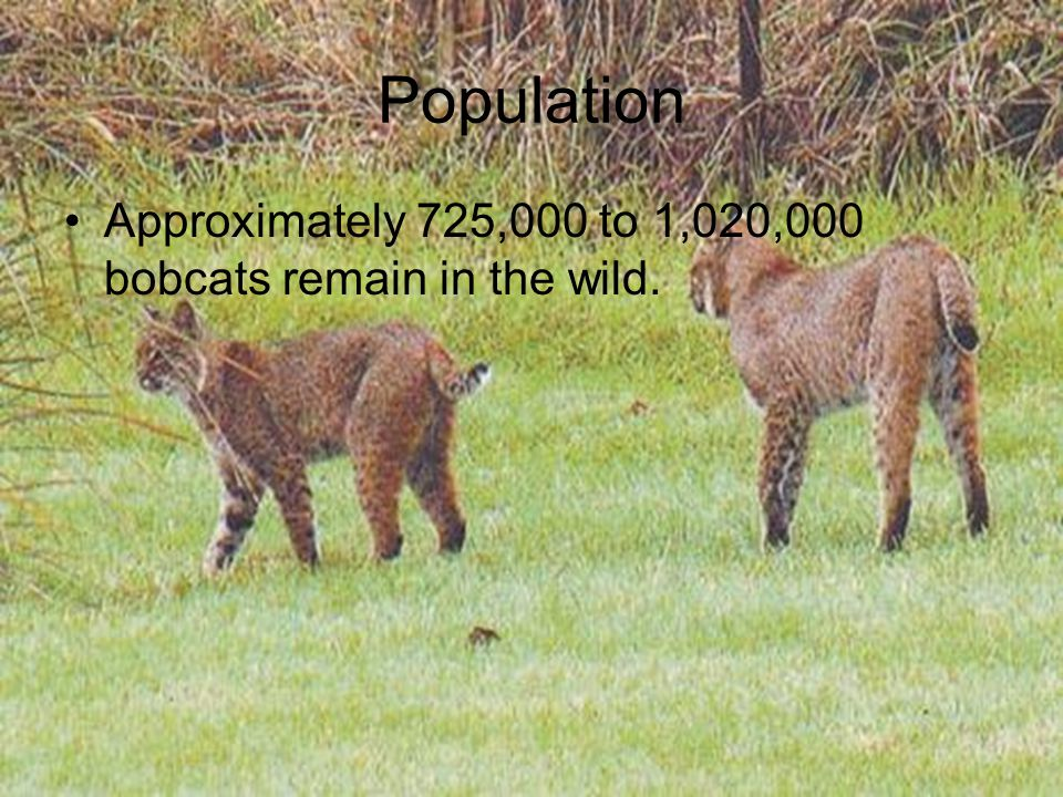 Population Approximately 725,000 to 1,020,000 bobcats remain in the wild.