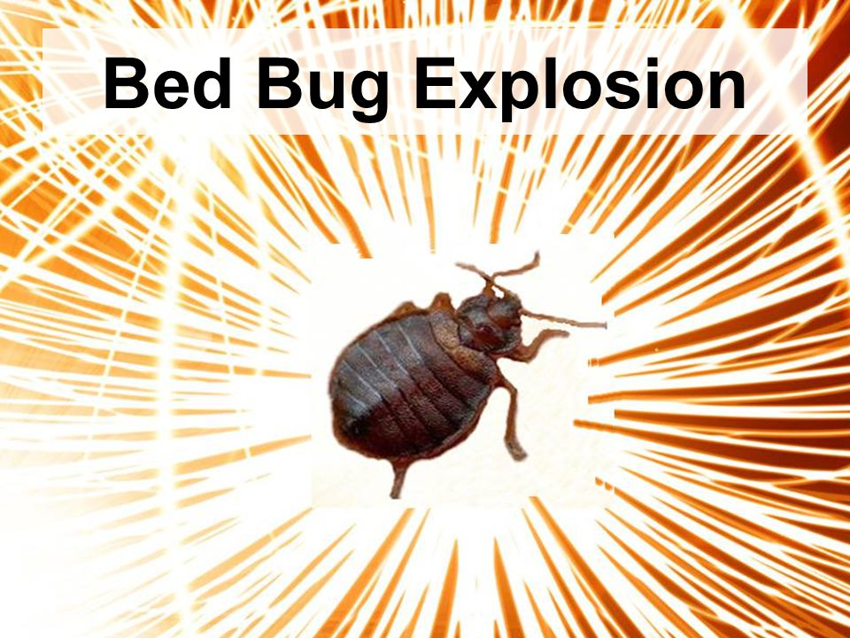 Bed Bug Explosion